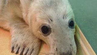 Iona, a seal pup, pictured in a nursery pen at Exploris