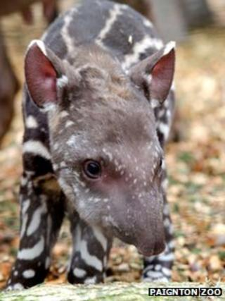 Dexter the tapir (Paignton Zoo)