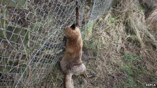 The fox trapped in a snare. Scottish SPCA pic