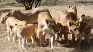 Lions in a South Africa game park (Archive shot - 2010)