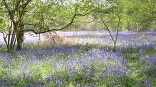 Bluebells in Ryton Woods - Warwickshire Wildlife Trust