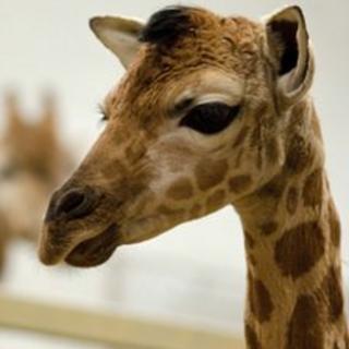 The giraffe was born at Paignton Zoo on Valentine's day