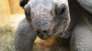 Darwin the giant tortoise