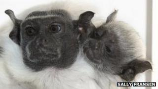 Adult and young pied tamarin