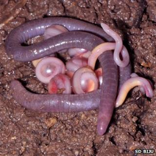 Chikilidae adult and eggs