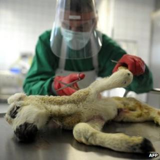 Vet preparing for autopsy on deformed lamb