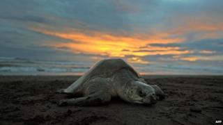 Turtle on beach, in Costa Rica