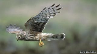 Hen Harrier [Pic: RSPB Scotland]