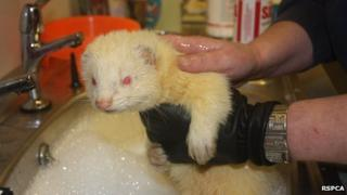 Rescued ferret gets a wash