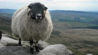 Sheep on Kinder Scout in the Peak District