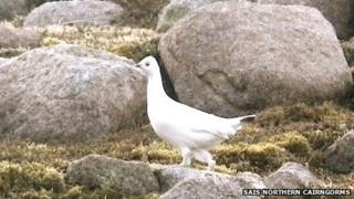 Female ptarmigan. Pic: SAIS Northern Cairngorms
