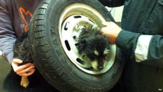 Tinks the Terrier who jammed her head in the centre of a spare wheel