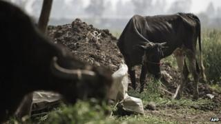 Cows and buffalo eat in a farm in Ezbet al-Galayla on the outskirts of Berket al-Sabaa village in the Egyptian Nile delta