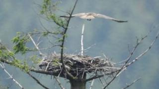 Second osprey pair at Kielder Forest