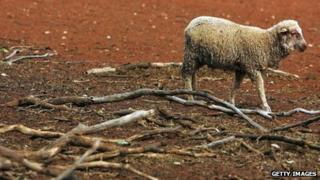 A lamb stands in a dry paddock on the 10,000 acre property owned by the Orr family on January 26, 2010 in Parkes, Australia.