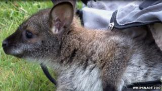 The wallaby in the rucksack