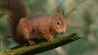 A rare red squirrel sitting on a branch at Brownsea Island Nature Reserve