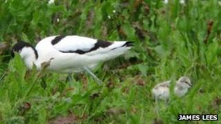 Avocet adult and chick