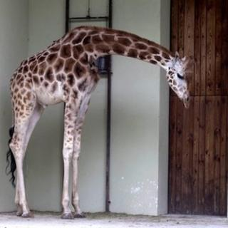 Six-year-old male giraffe Tofik is left alone at the zoo in Lodz, central Poland on Tuesday, May 15, 2012