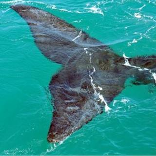 Right whale tail