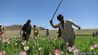 Eradication workers in a poppy field in Nangahar province