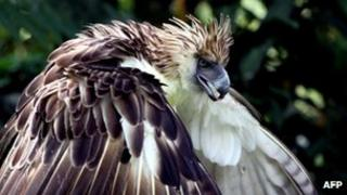 File photo: Rare Philippine Eagle