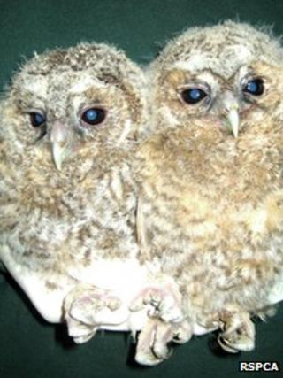 The two owlets which had been found in a car boot