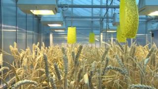 GM wheat at Rothamsted