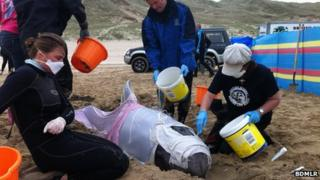 Risso's dolphin rescue, Perranport