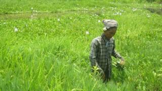 elderly woman wades through paddy field