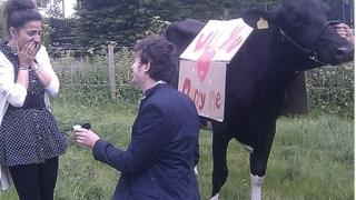 Man proposed to his fiance with a cow