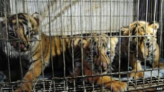 Rescued tiger cubs