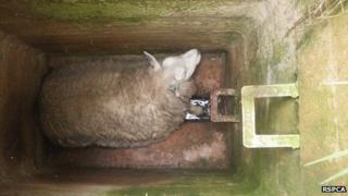 A sheep in a manhole, image courtesy of RSPCA