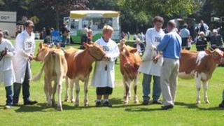 Cows being judged at Guernsey's cattle judging show