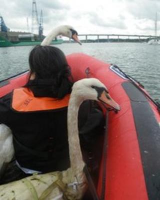 Two swans on a boat near the Orwell Bridge in Ipswich