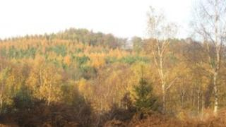 Larch trees, Forest of Dean