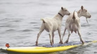 Goats Pismo and Goatee surfing