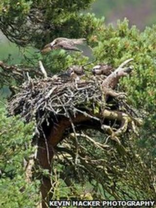 Loch of the Lowes Osprey