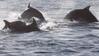 Bottlenose Dolphins in Douglas Bay 2012 - Photo by Eleanor Stone