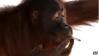File photo of Tori, an orangutan smoking a cigarette inside her cage at Satwa Taru Jurug zoo in Solo, Central Java, Indonesia