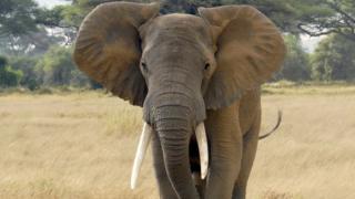 Elephant in the Amboseli National Park, Kenya