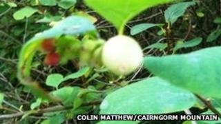 Colin Mathhew's snowberry bush
