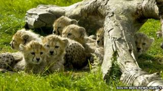Northern African cheetahs born at Whipsnade Zoo, Bedfordshire