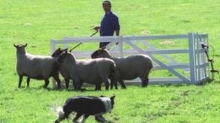 farmer, sheep and sheepdog