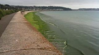 Sea lettuce on the beach