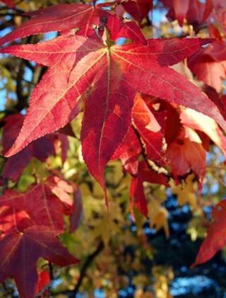 Sweetgum tree leaves (Image: BBC)