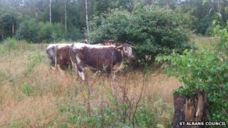 Cattle grazing on Bricket Wood Common