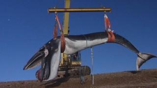 Fin whale, Shingle Street