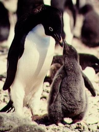 Pengiuns in the antarctic