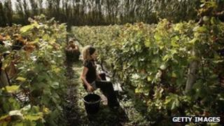 Grape pickers at Nyetimber vineyard